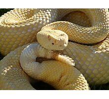 Albino Western Diamondback Rattlesnake - USA Photographic Print