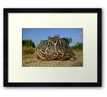 Star Tortoise - Sri Lanka Framed Print