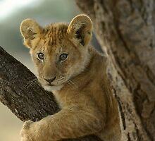 Lion Cub - Tanzania by Austin Stevens