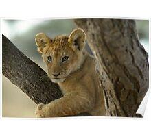 Lion Cub - Tanzania Poster
