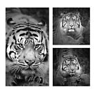Sumatran Tiger Collection #1 by Leanne Allen