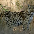 African Leopard - South Africa by Austin Stevens