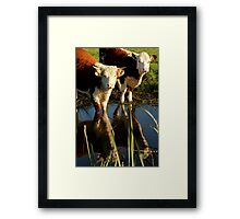 Cows Reflecting Framed Print