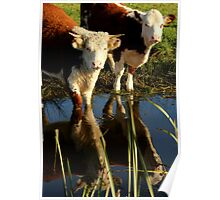 Cows Reflecting Poster