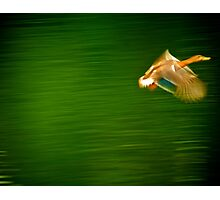Duck motion Photographic Print