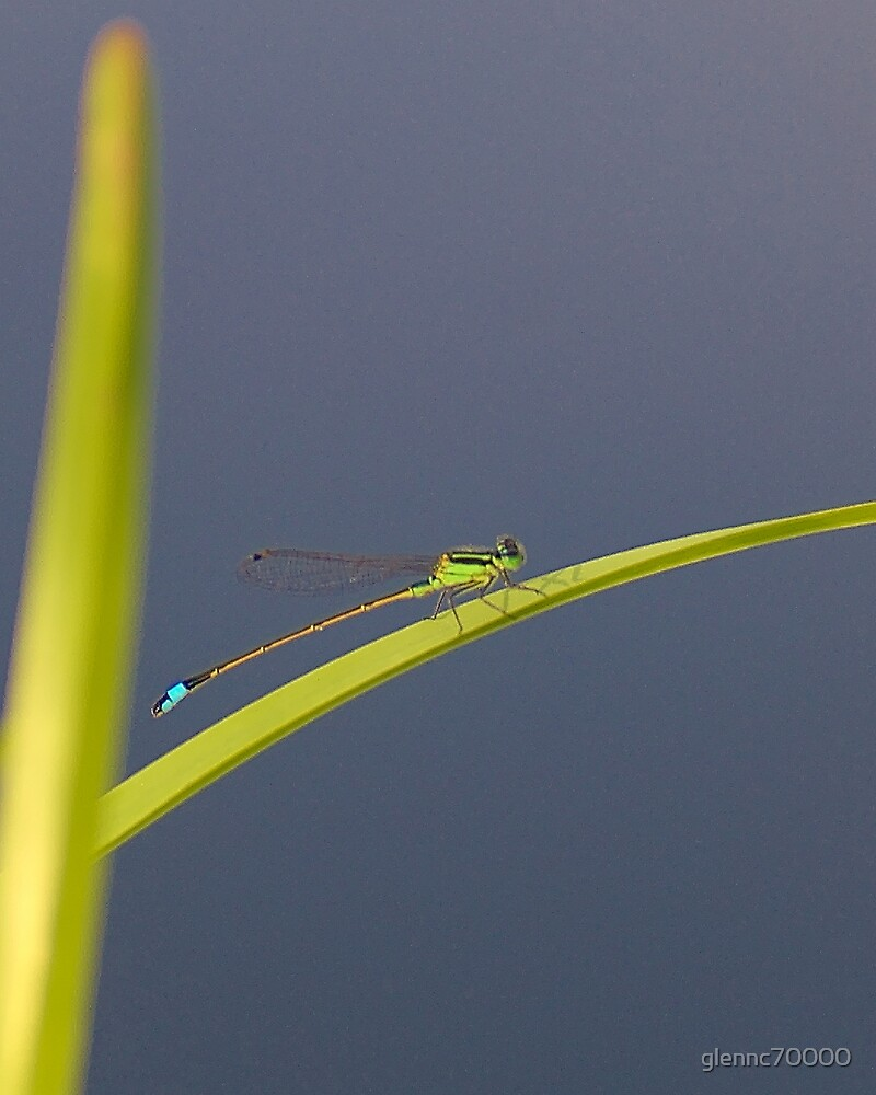 Damselfly Basking by glennc70000