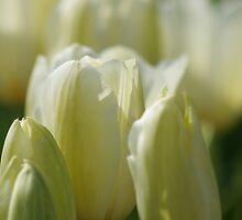 White Tulips by Debbie Stika