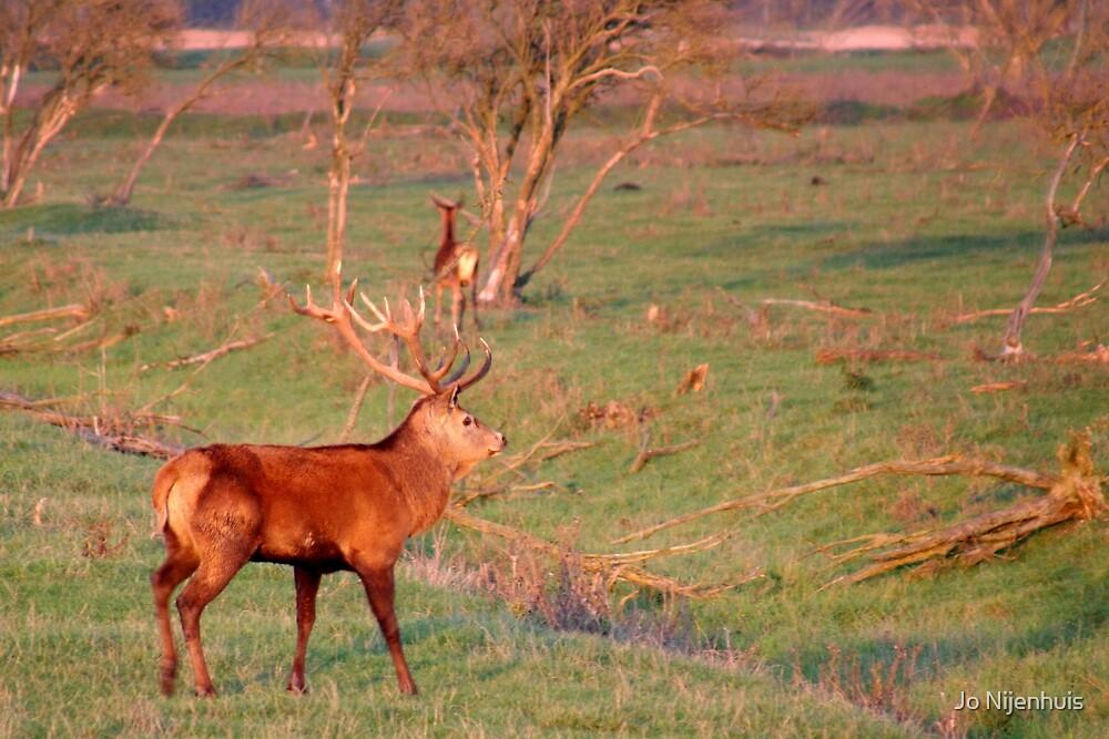 Red Deer Stag by Jo Nijenhuis