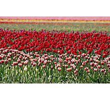 Skagit Valley Tulip Fields Photographic Print
