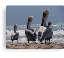 Group of migrant pelicans at the beach of Puerto Vallarta - Grupo de pelicanos migrantes en la Bahia de Puerto Vallarta Canvas Print