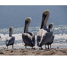Group of migrant pelicans at the beach of Puerto Vallarta - Grupo de pelicanos migrantes en la Bahia de Puerto Vallarta Photographic Print