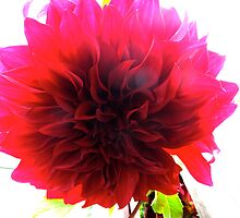 High pitched Dahlia by MarianBendeth