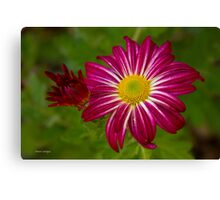 Purple Aster Flower Close up Canvas Print