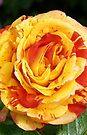 Vibrant Rose .. iphone case by LoneAngel