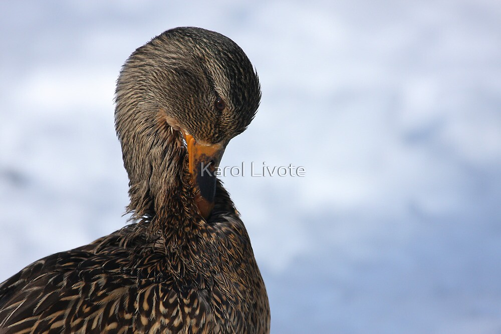 Mallard Neck Stretch by Karol Livote