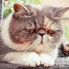 Exotic Shorthair - Persian Cat - Fractalius by Liam Liberty