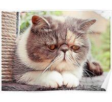 Exotic Shorthair - Persian Cat - Fractalius Poster