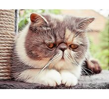 Exotic Shorthair - Persian Cat - Fractalius Photographic Print