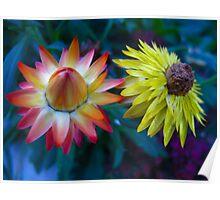 STRAW FLOWER GLORY Poster