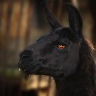 Llamas have beautiful eyes. by Doty