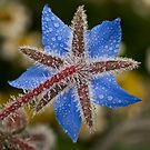 Dewy borage by Celeste Mookherjee
