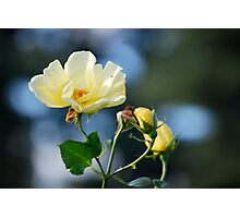 Belle Rose Photographic Print