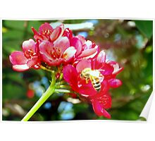 Bee on red flowers. Poster