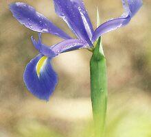 Iris Raindrops by Laura  Knight