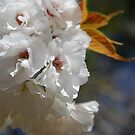 Beautiful blossom by Catherine Davis