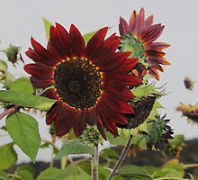 Red sunflower – Special breed by DonnaMoore