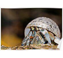 Hermit Crab - Coconut Crab Poster