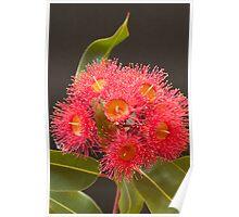Flowering eucalypt Poster