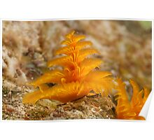 Christmas Tree Worm, Kimbe Bay, New Britain, Papua New Guinea. Poster