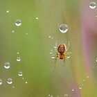 Spider on Dewy Web by relayer51