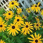 Blackeyed Susans Lattice by PaulineHoward