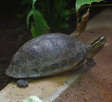 Malayan Box Terrapin by DEB VINCENT