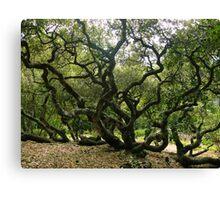 #1009  California Live Oak Tree Canvas Print