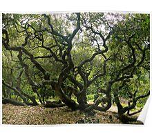 #1009  California Live Oak Tree Poster