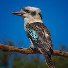 Kookaburra by Frank Yuwono