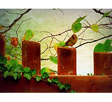 Bird on ivy covered fence Photographic Print