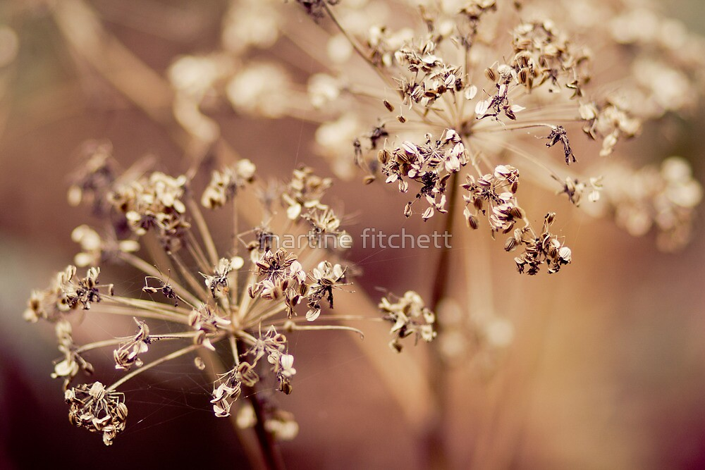 cow parsley glow by martine fitchett
