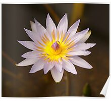 Exotic Water Lily Poster