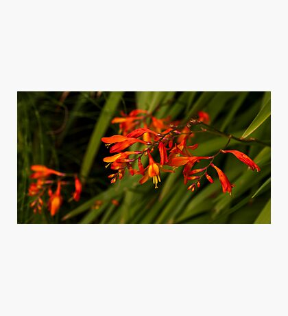 Firery Tipped Blooms Photographic Print