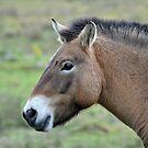 PRZEWALSKI'S HORSE, Profile. by Dorothy Thomson