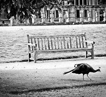 Peacock by Stuart  Noall