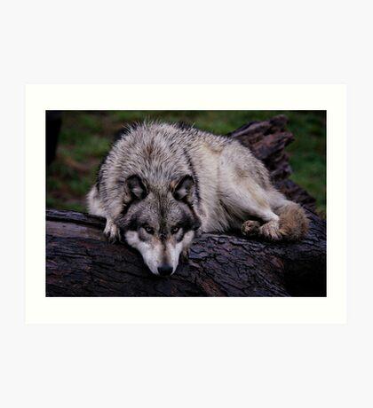 A wolf on a wet log Art Print