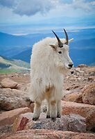 Mountain Goat Pose by Reese Ferrier