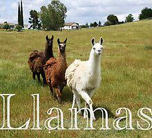 Llamas by Doty