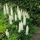 White Lupins - Hyde Hall by BlueMoonRose