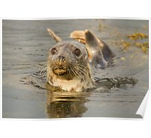 Grey Seal Poster